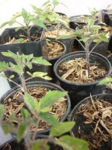 Tomatenpflanzen Saatgut 2015
